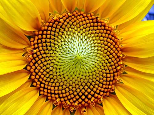 Sunflower and geometry